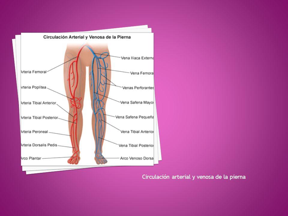 Vistoso Anatomía De La Vena De La Pierna Ideas - Imágenes de ...