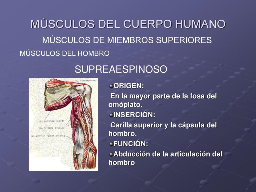 MÚSCULOS DE MIEMBROS SUPERIORES - ppt descargar
