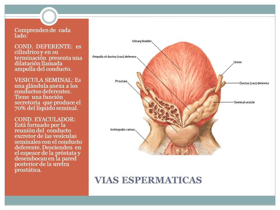 SISTEMA REPRODUCTOR Y URETRA - ppt video online descargar