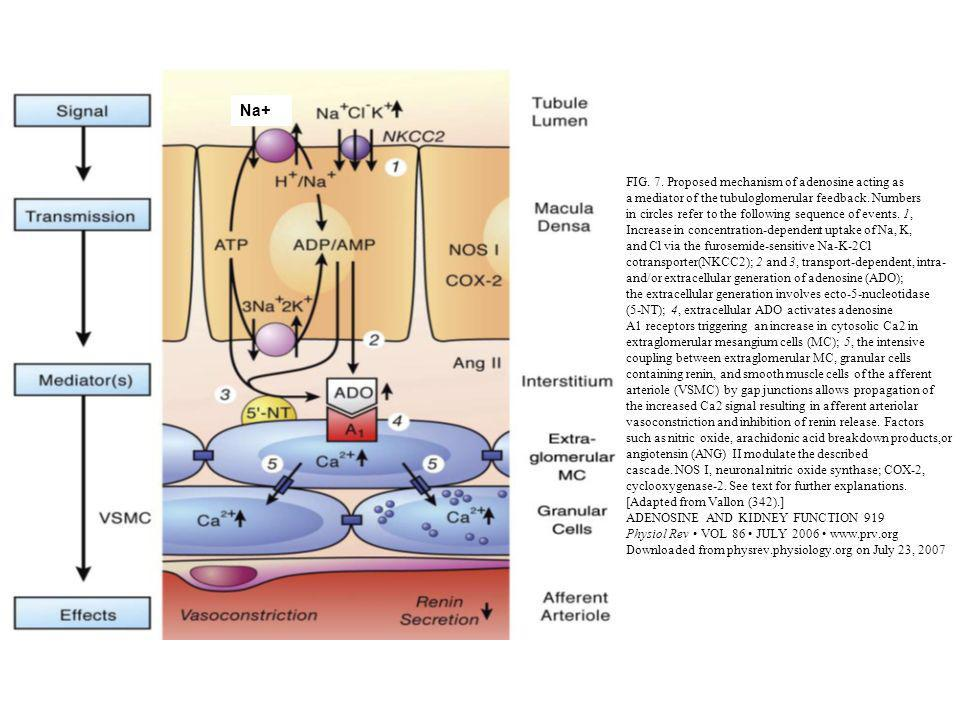 Na+ FIG. 7. Proposed mechanism of adenosine acting as