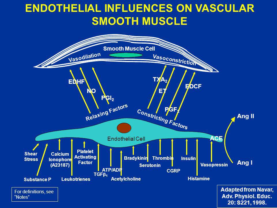 ENDOTHELIAL INFLUENCES ON VASCULAR SMOOTH MUSCLE