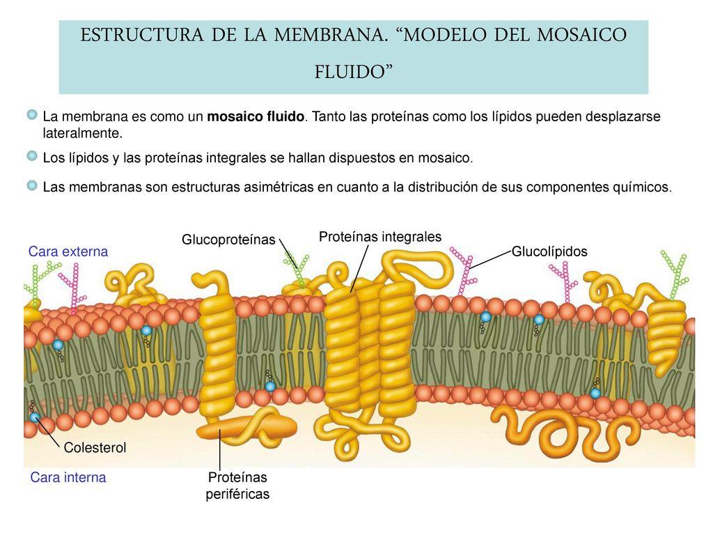 Composición Química De La Membrana Plasmática Ppt Descargar