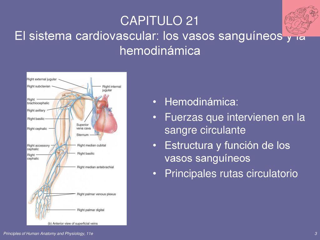 CAPITULO 21 El sistema cardiovascular: los vasos sanguíneos y la ...