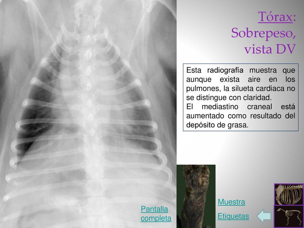 Radiología del Perro: tórax - ppt video online descargar