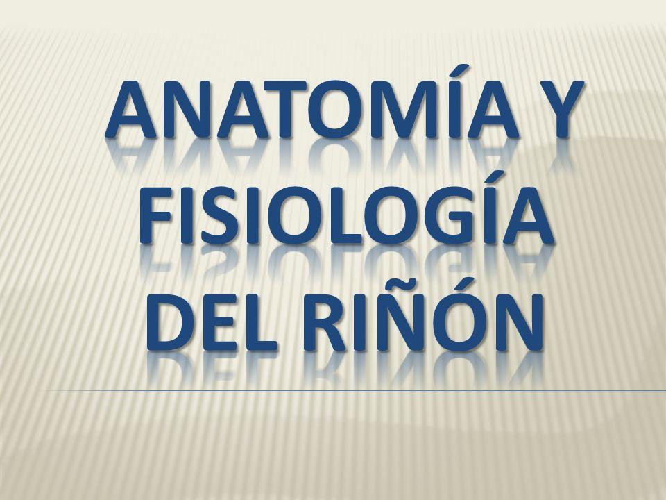 ANATOMÍA Y FISIOLOGÍA DEL RIÑÓN - ppt descargar