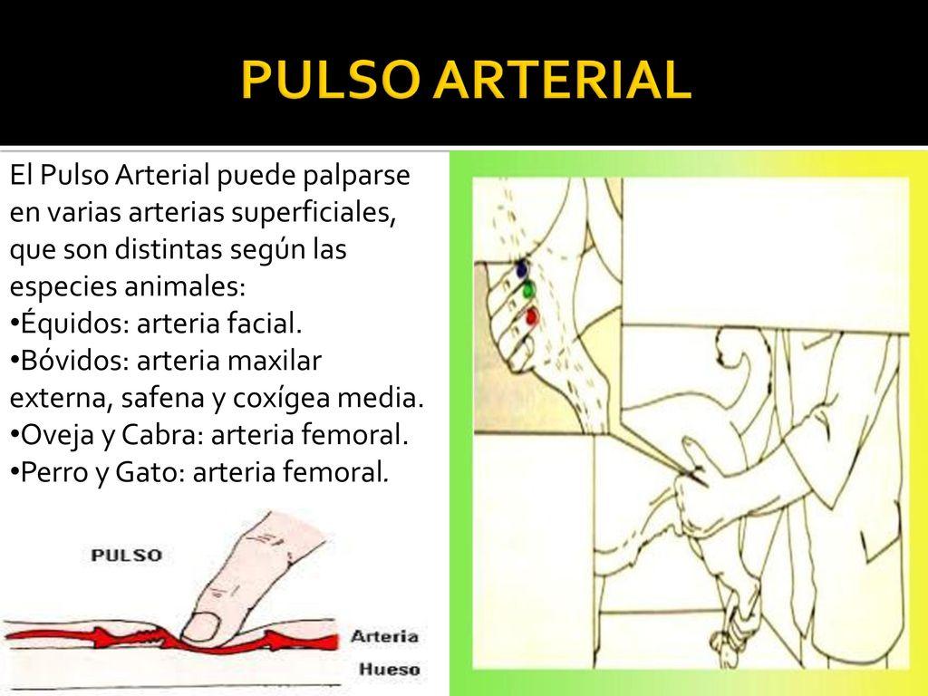 Fantástico Sistema Vascular Arterial Anatomía Gato Elaboración ...