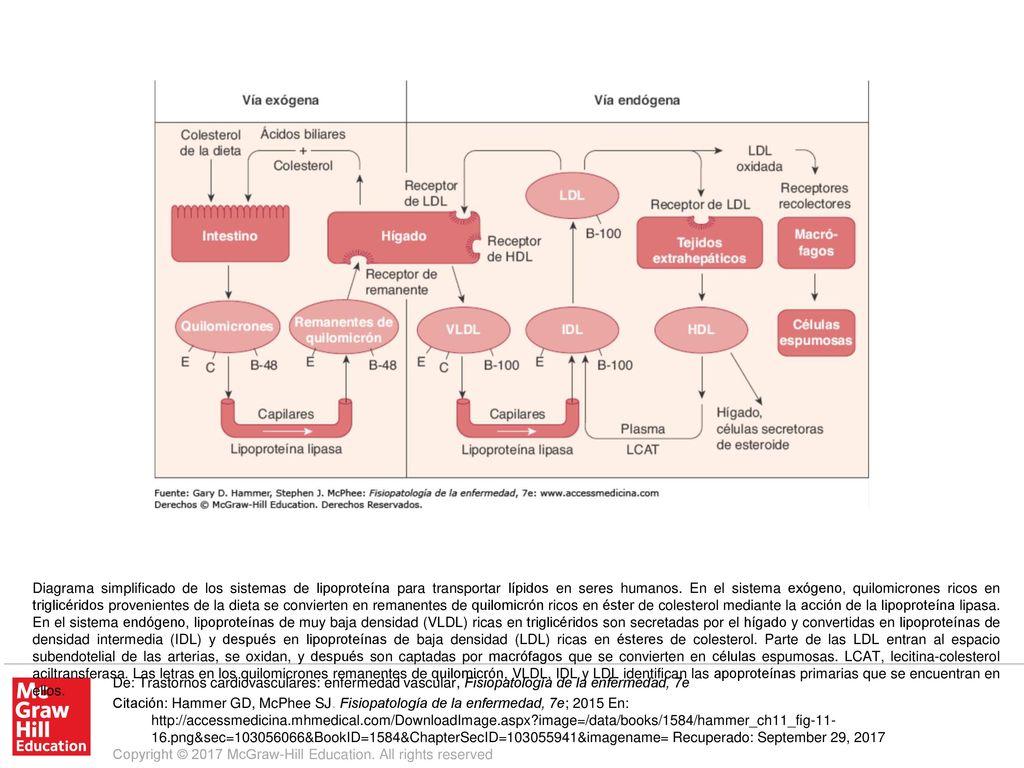 Diagrama simplificado de los sistemas de lipoproteína para ...