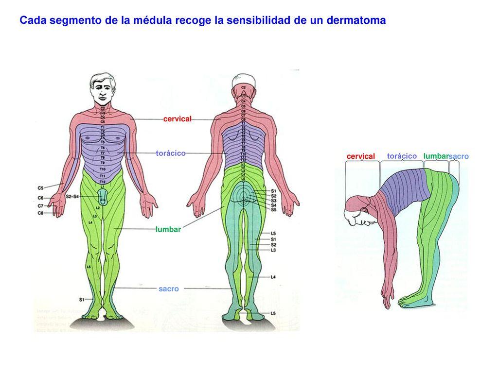 Lujoso Dermatomas Cabeza Componente - Anatomía de Las Imágenesdel ...