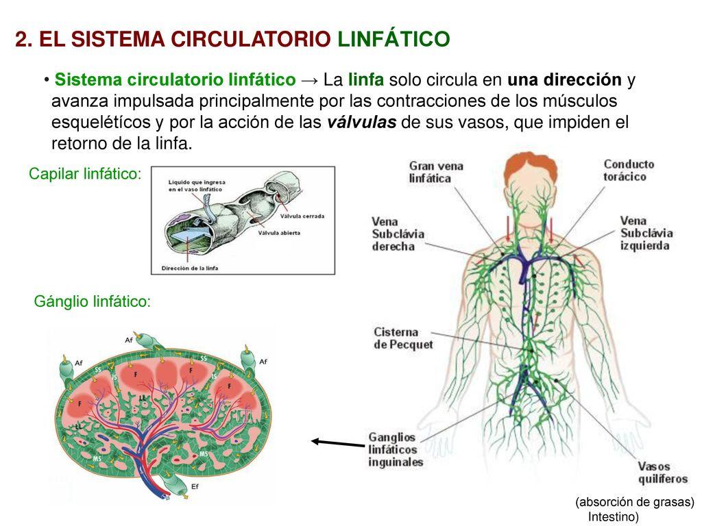 UT 4. NUTRICIÓN: SISTEMA CIRCULATORIO I - ppt descargar