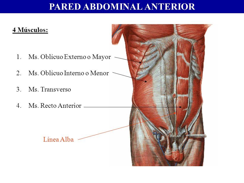Lujo Oblicuo Abdominal Interno Colección - Anatomía de Las ...