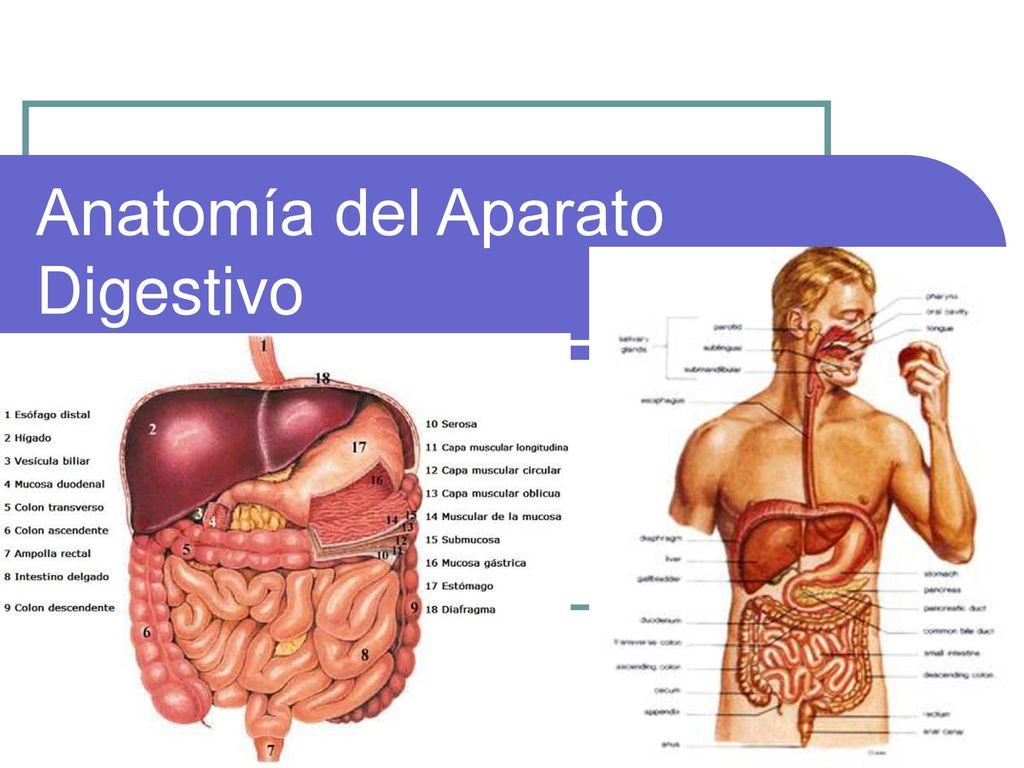 Anatomía del Aparato Digestivo - ppt descargar
