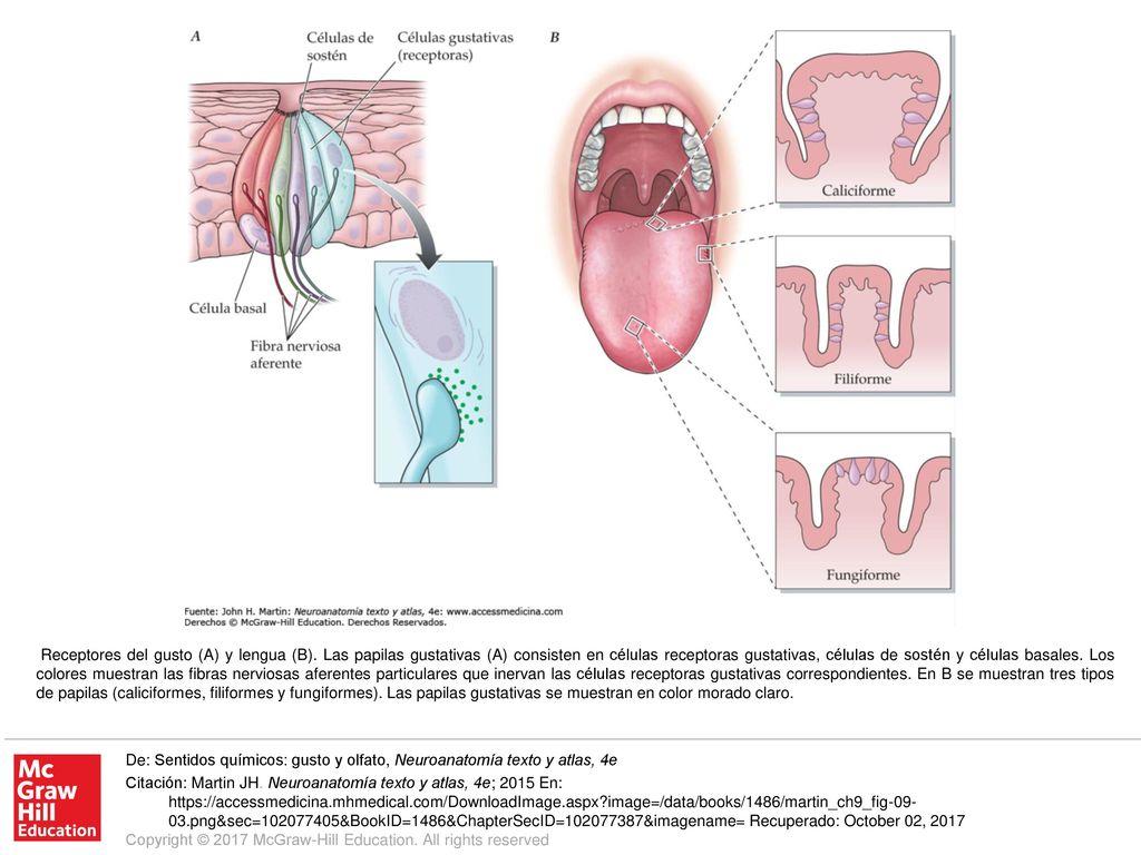 Receptores del gusto (A) y lengua (B) - ppt descargar