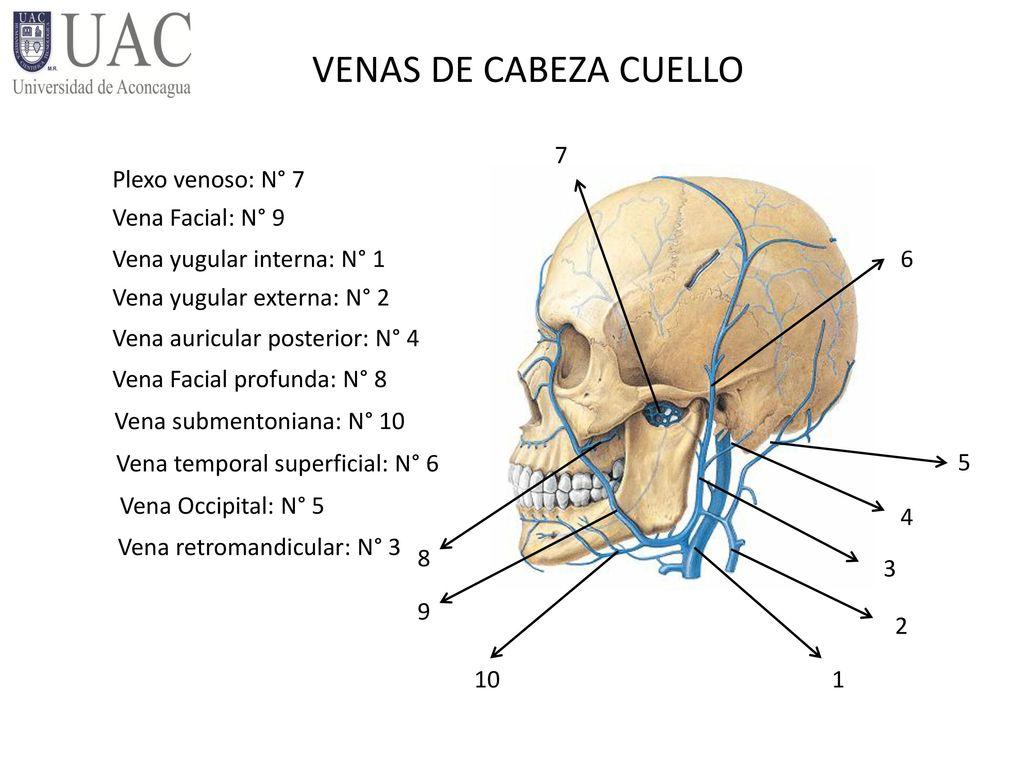 Fantástico Las Venas Del Cuello Anatomía Regalo - Imágenes de ...
