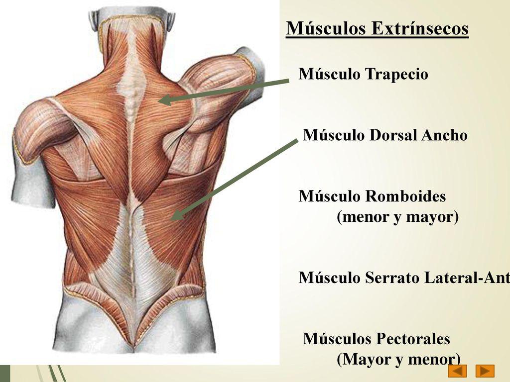 Atractivo Diagrama De Músculo Del Cuerpo Superior Imagen - Imágenes ...