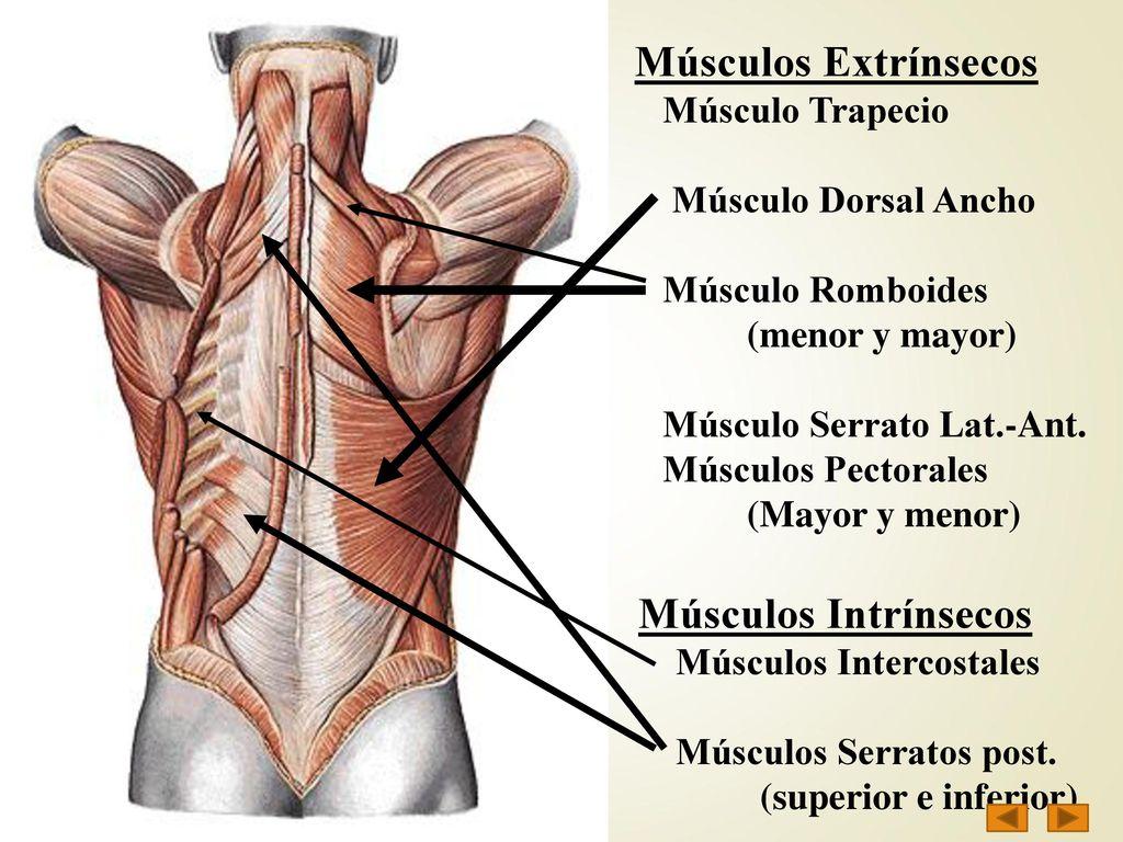 MUSCULATURA del TRONCO - ppt descargar
