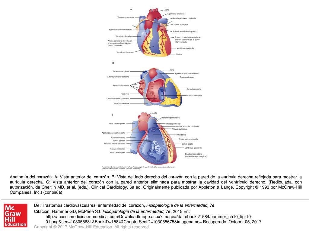 Anatomía del corazón. A: Vista anterior del corazón - ppt descargar