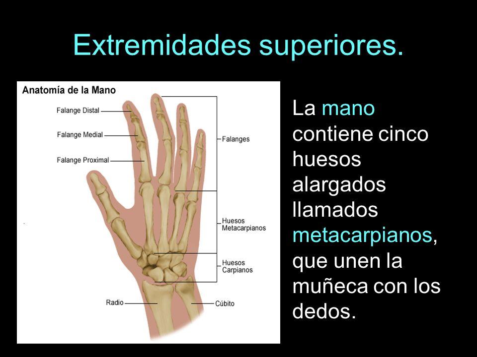EL ESQUELETO Y LOS MÚSCULOS. Los huesos de las extremidades. - ppt ...