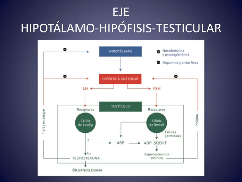 FISIOLOGÍA TESTICULAR - ppt descargar