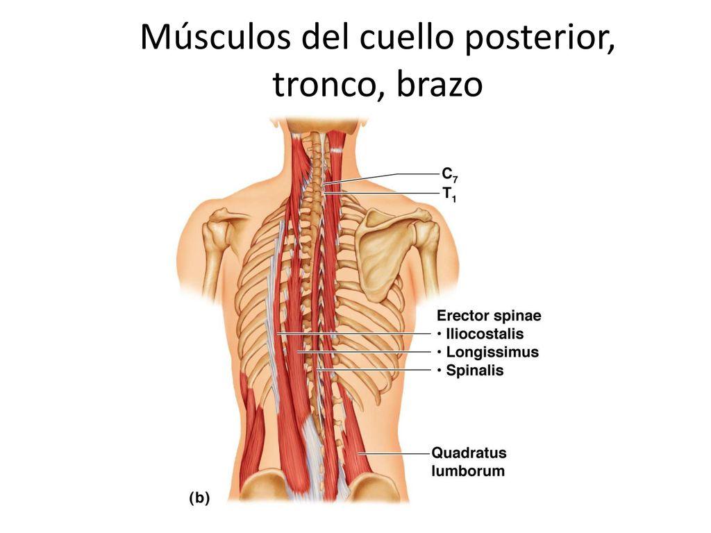 Sistema Muscular II. - ppt descargar
