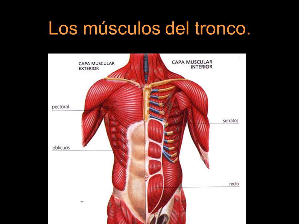 Excelente Músculos Del Tronco Anatomía Bosquejo — Sceneups