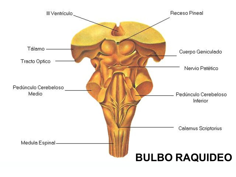 BULBO RAQUIDEO