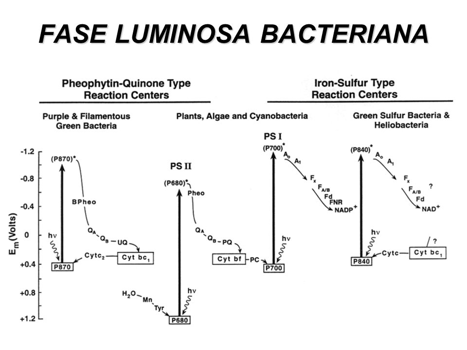 FASE LUMINOSA BACTERIANA