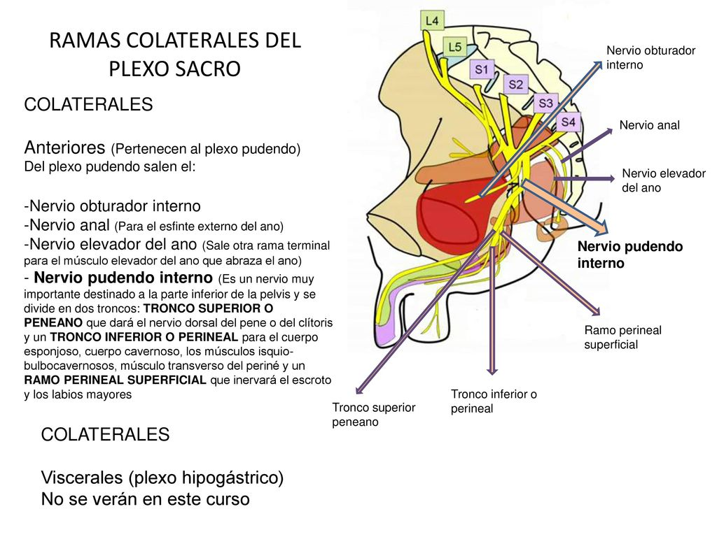 Magnífico Anatomía Del Plexo Lumbosacro Imágenes - Imágenes de ...