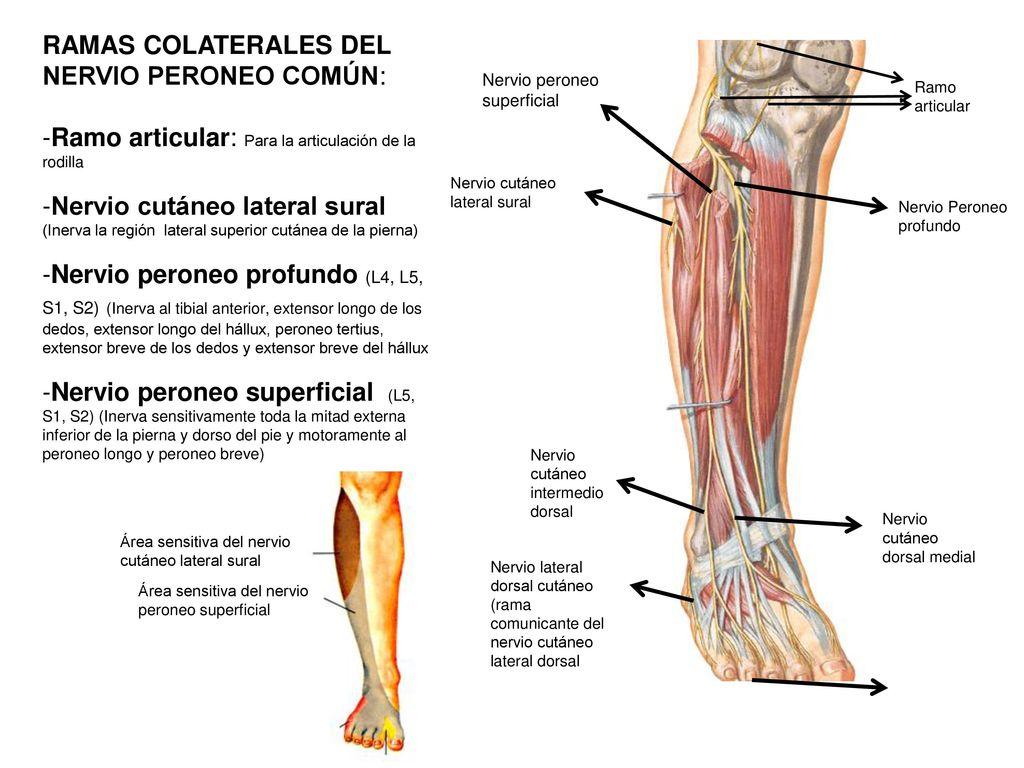 Lujo Anatomía Del Inferior De La Pierna Y El Tobillo Motivo ...
