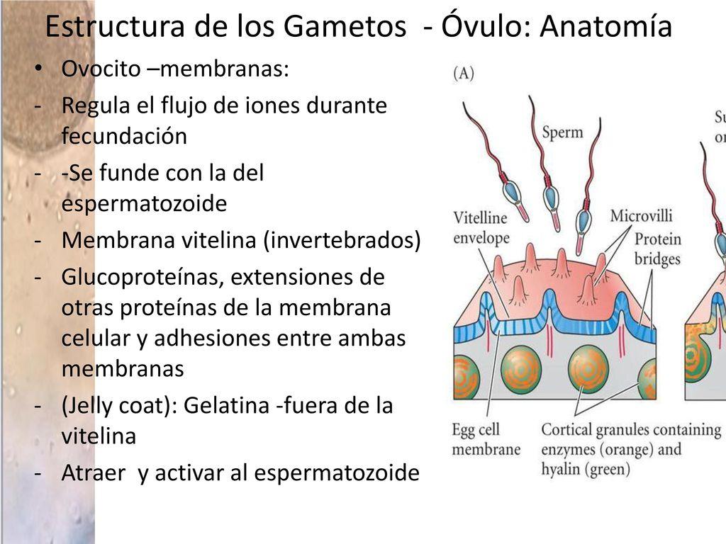 Biología del Desarrollo Fecundación - ppt descargar
