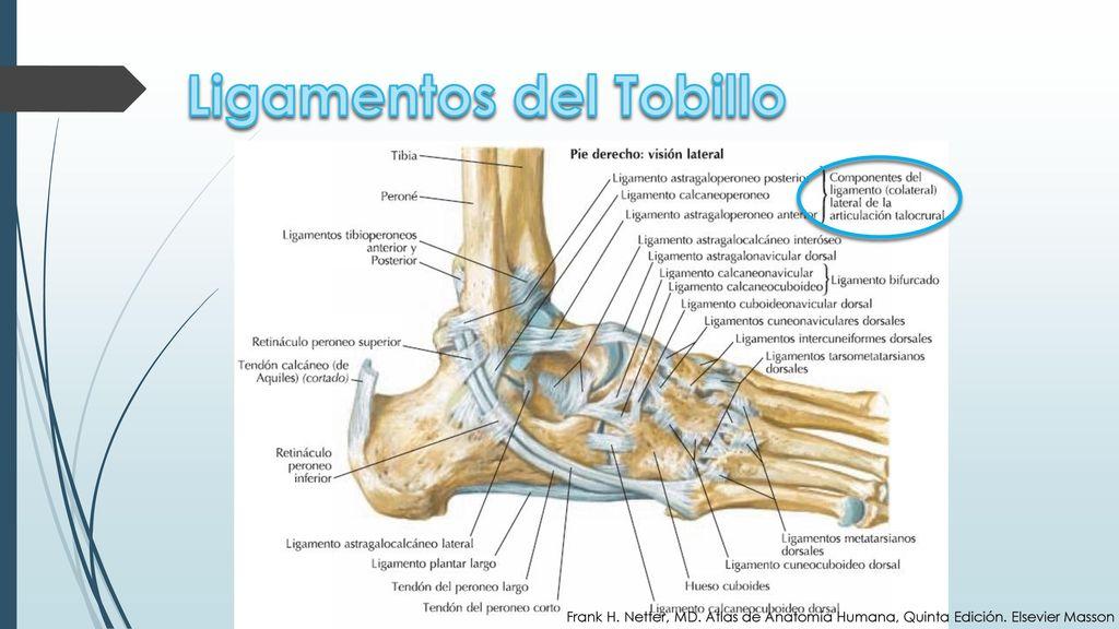 Anatomía del Tobillo Alexandra Águila Medicina X Semestre UP. - ppt ...