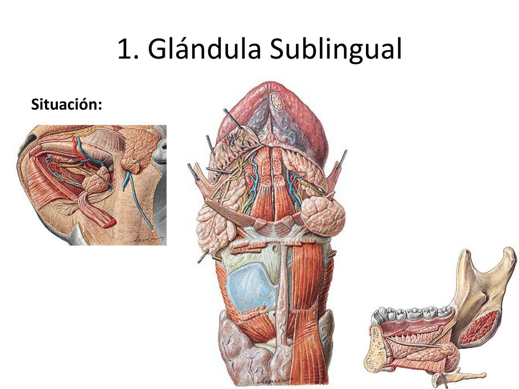 cual es la funcion de la glandula sublingual