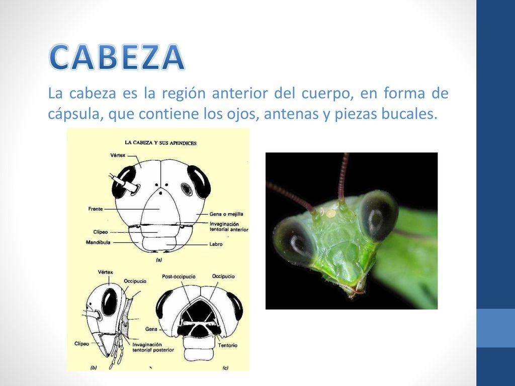 """LOS INSECTOS """"Anatomía externa"""". - ppt descargar"""