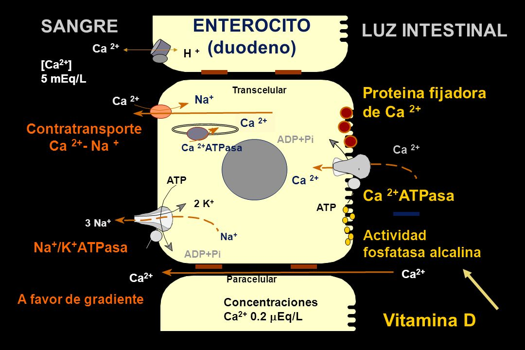ENTEROCITO (duodeno) LUZ INTESTINAL