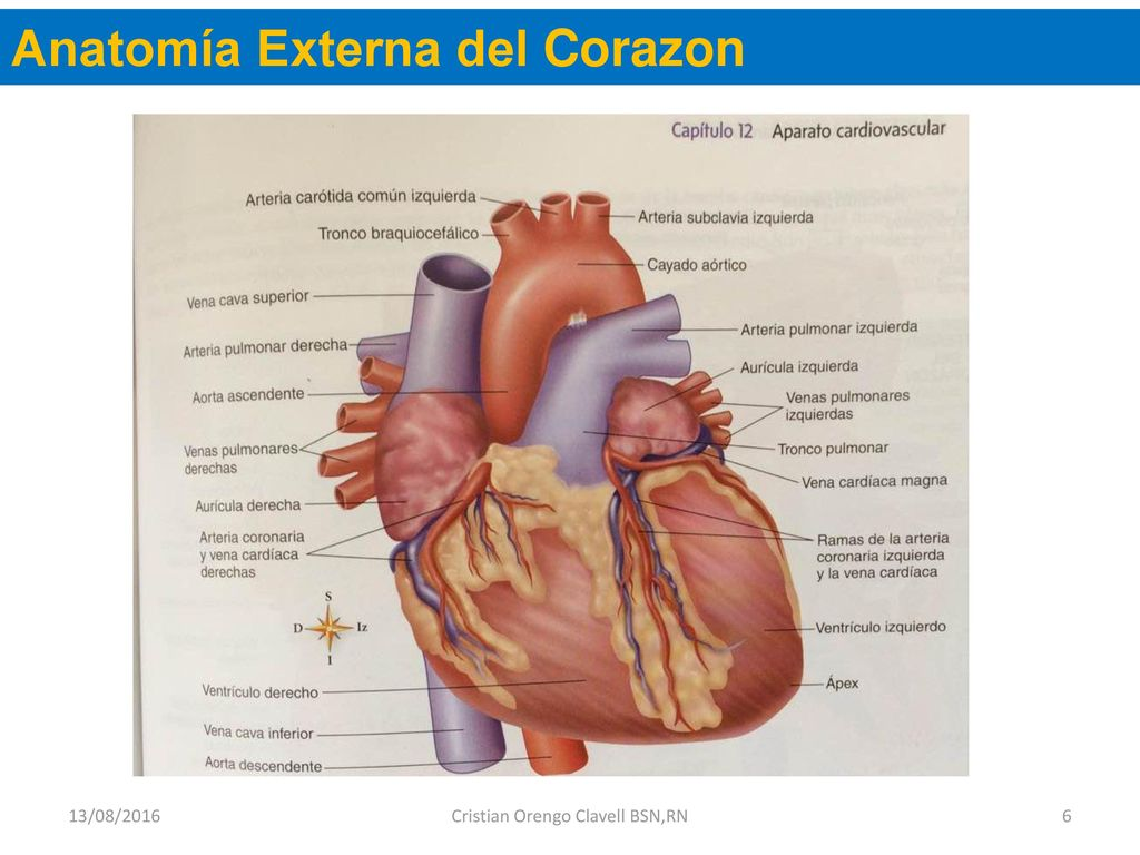 Asombroso Anatomía Vena Cardíaca Ilustración - Imágenes de Anatomía ...