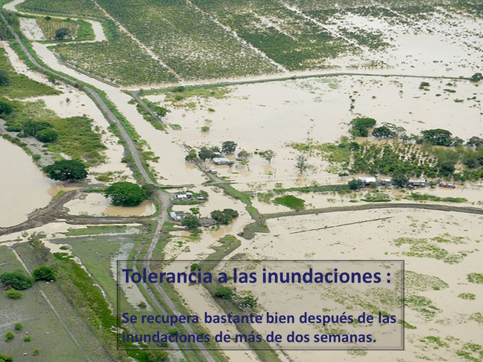 Tolerancia a las inundaciones :