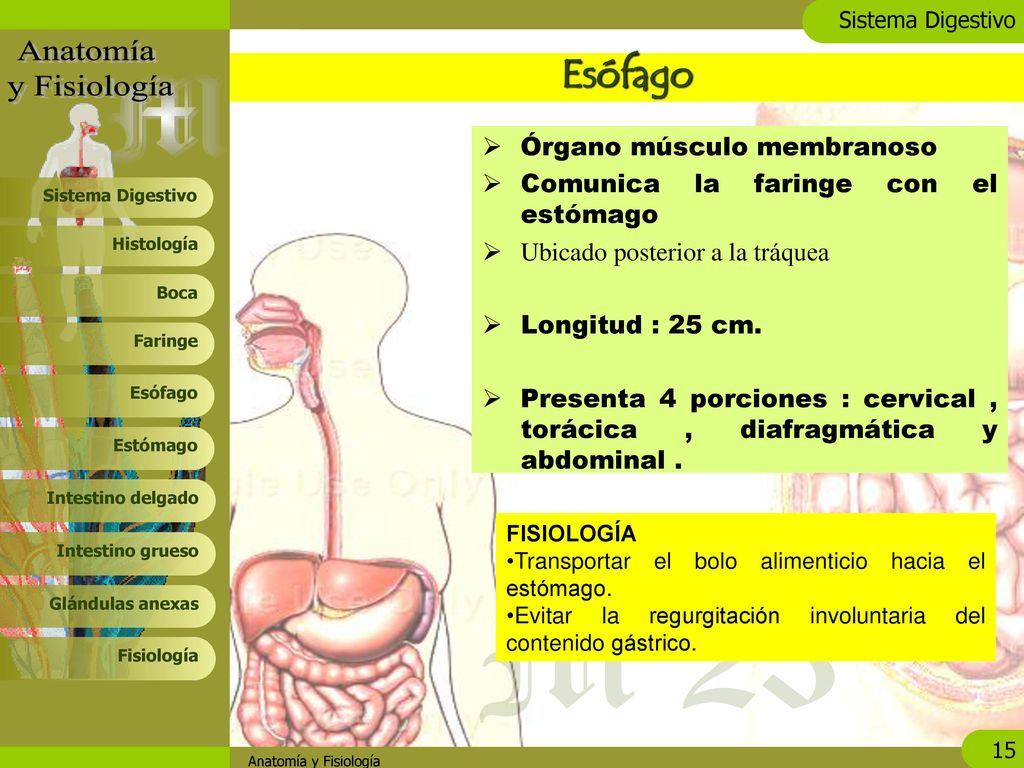 Increíble Anatomía Esófago Y La Tráquea Imagen - Anatomía de Las ...