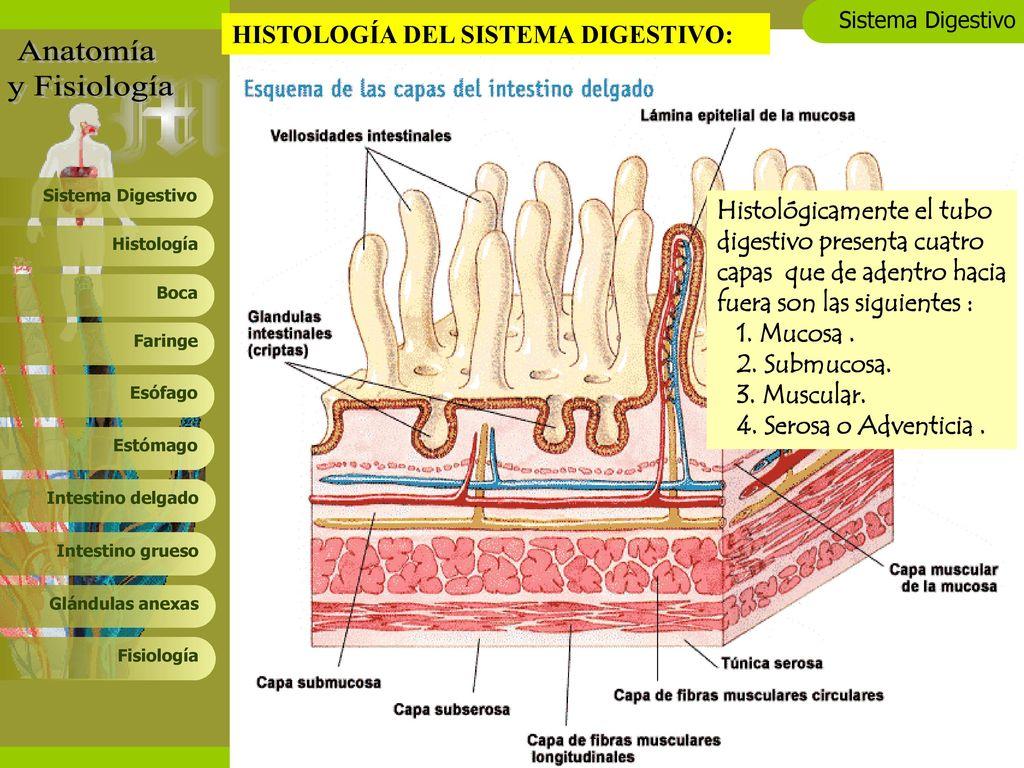 Sistema Digestivo. - ppt descargar