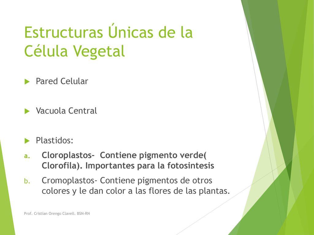 Célula Vegetal Prof Cristian Orengo Clavell Bsn Rn Ppt