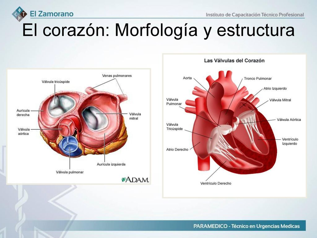 Contemporáneo La Anatomía De Un Corazón Imagen - Anatomía de Las ...