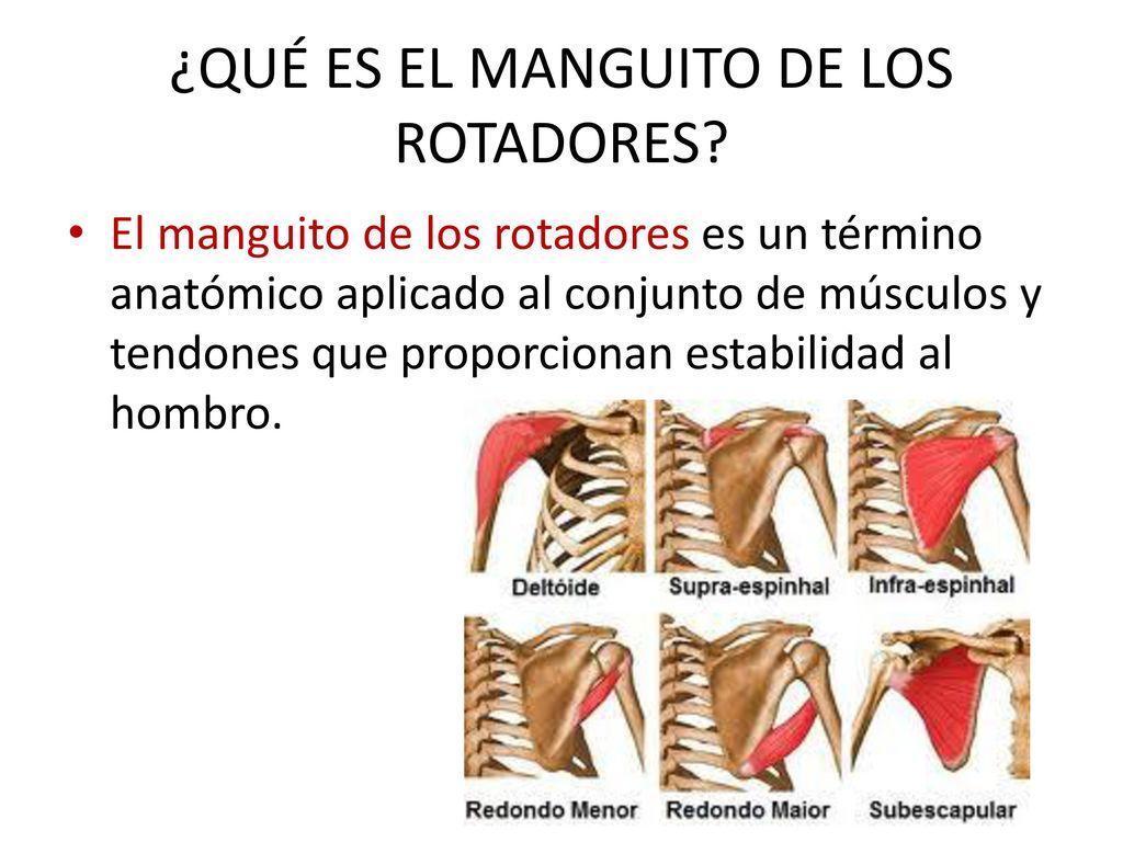 Magnífico Rotador Músculos Del Manguito De La Anatomía Componente ...