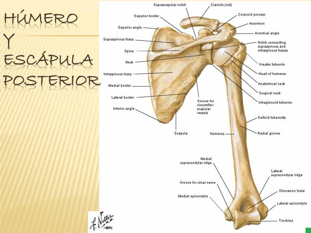 Miembro Superior Sistema óseo - ppt descargar