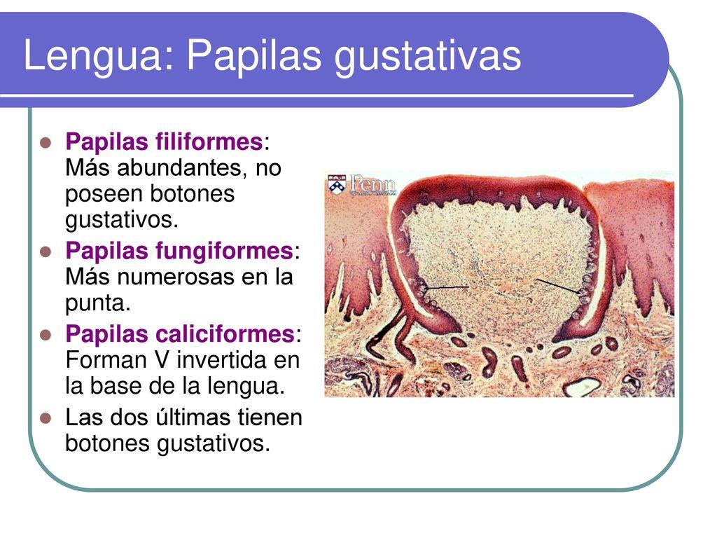 Tema 3: Anatomía y fisiología del Aparato Digestivo - ppt descargar