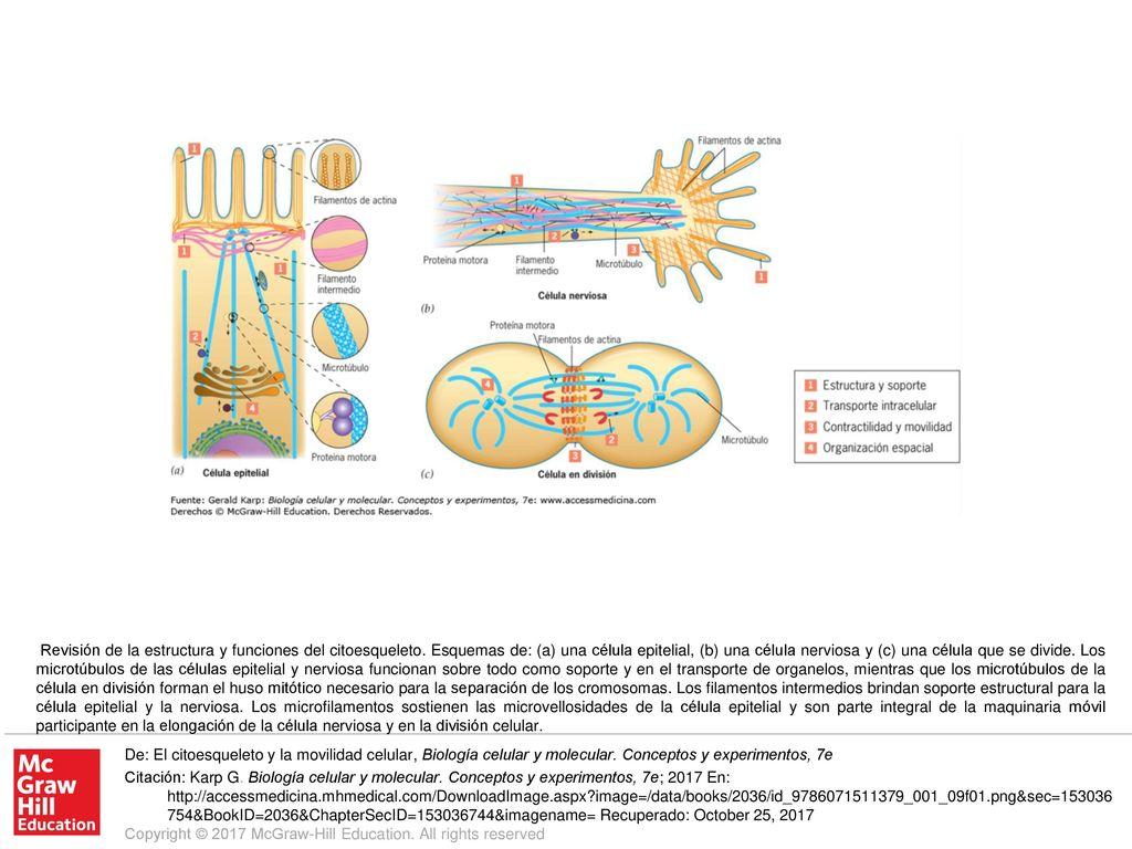 Revisión De La Estructura Y Funciones Del Citoesqueleto
