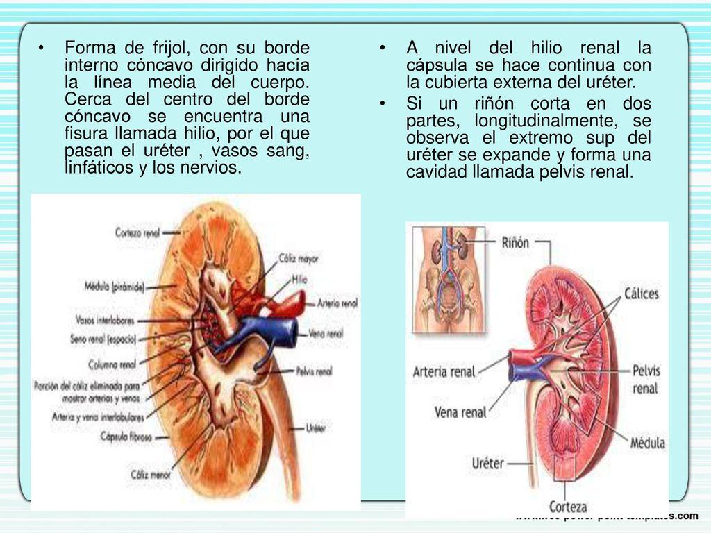 Anatomía del Aparato Urinario - ppt descargar