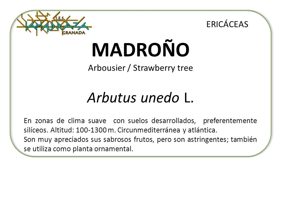 MADROÑO Arbousier / Strawberry tree