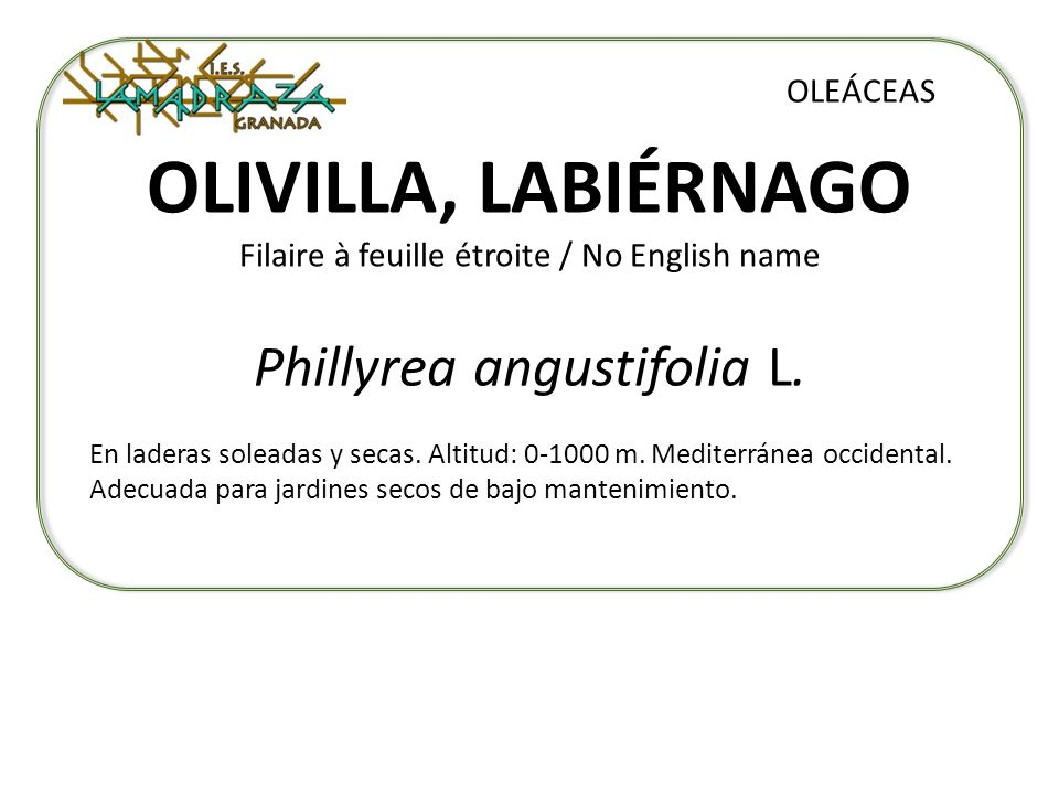 OLIVILLA, LABIÉRNAGO Filaire à feuille étroite / No English name
