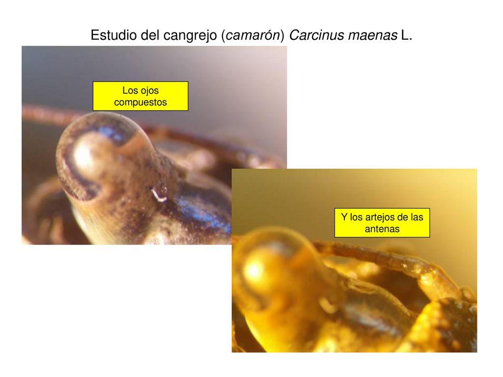 Estudio del cangrejo (camarón) Carcinus maenas L. (I) - ppt descargar