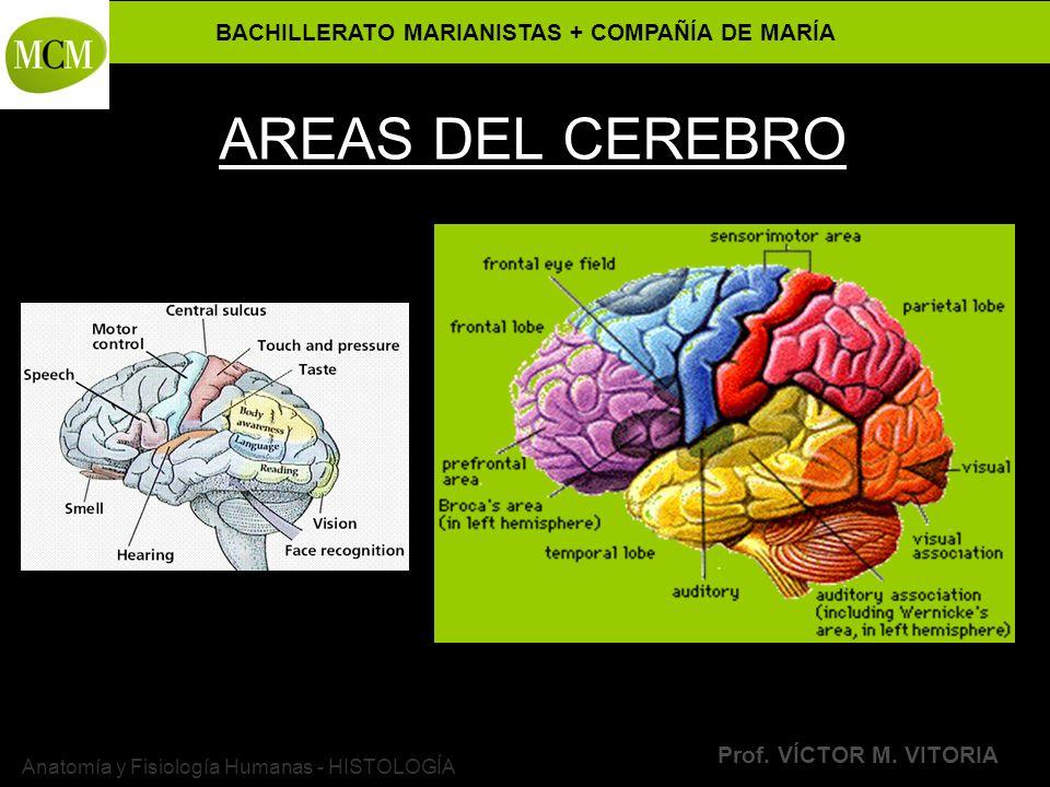 Excelente Anatomía Y Fisiología Partes Del Cerebro Bosquejo ...