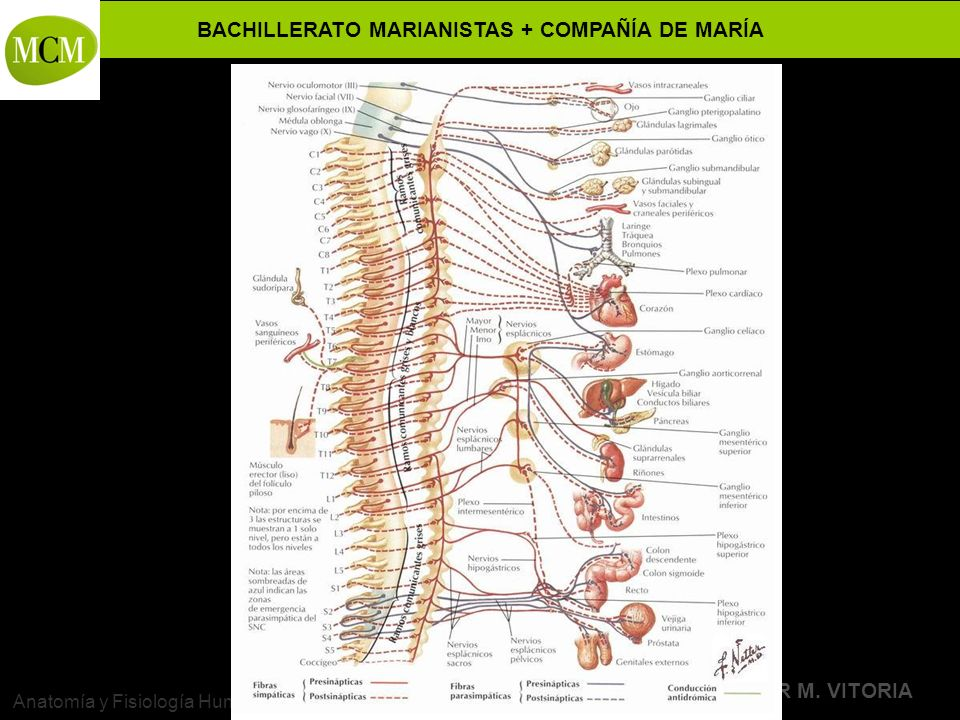 Dorable Anatomía Y Fisiología Del Sistema Neurológico Friso ...