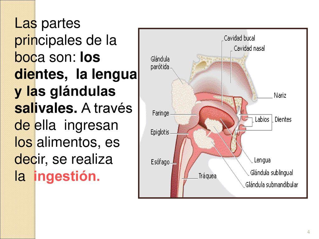 Magnífico Anatomía Glándulas Salivales Imagen - 4TW